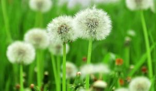 Photo of a dandelion weed