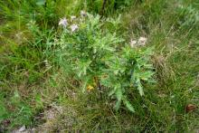 Canada thistle (noxious): Prevent growth and spread or uproot and bring to the diseased wood pile.