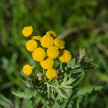 Common tansy (noxious): Prevent growth and spread or uproot and bring to the diseased wood pile.