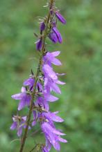 Creeping bellflower (noxious): Prevent growth and spread or uproot and bring to the diseased wood pile.