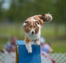 2016 - Dog Agility Canadian Open 19