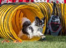 2016 - Dog Agility Canadian Open 7