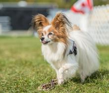 2016 - Dog Agility Canadian Open 21