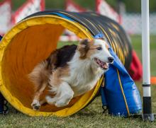 2016 - Dog Agility Canadian Open 23