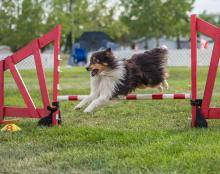 2016 - Dog Agility Canadian Open 24