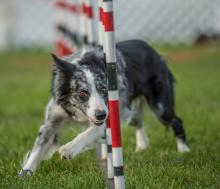 2016 - Dog Agility Canadian Open 25