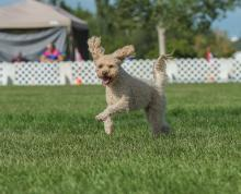 2016 - Dog Agility Canadian Open 9