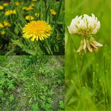 Keep nuisance weeds like dandelions, white clover and broadleaf plantain shorter than 10 cm.