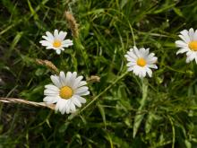 Oxeye daisy (noxious): Prevent growth and spread or uproot and bring to the diseased wood pile.