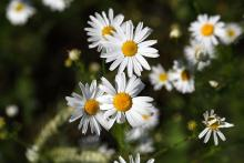 Scentless chamomile (noxious): Prevent growth and spread or uproot and bring to the diseased wood pile.